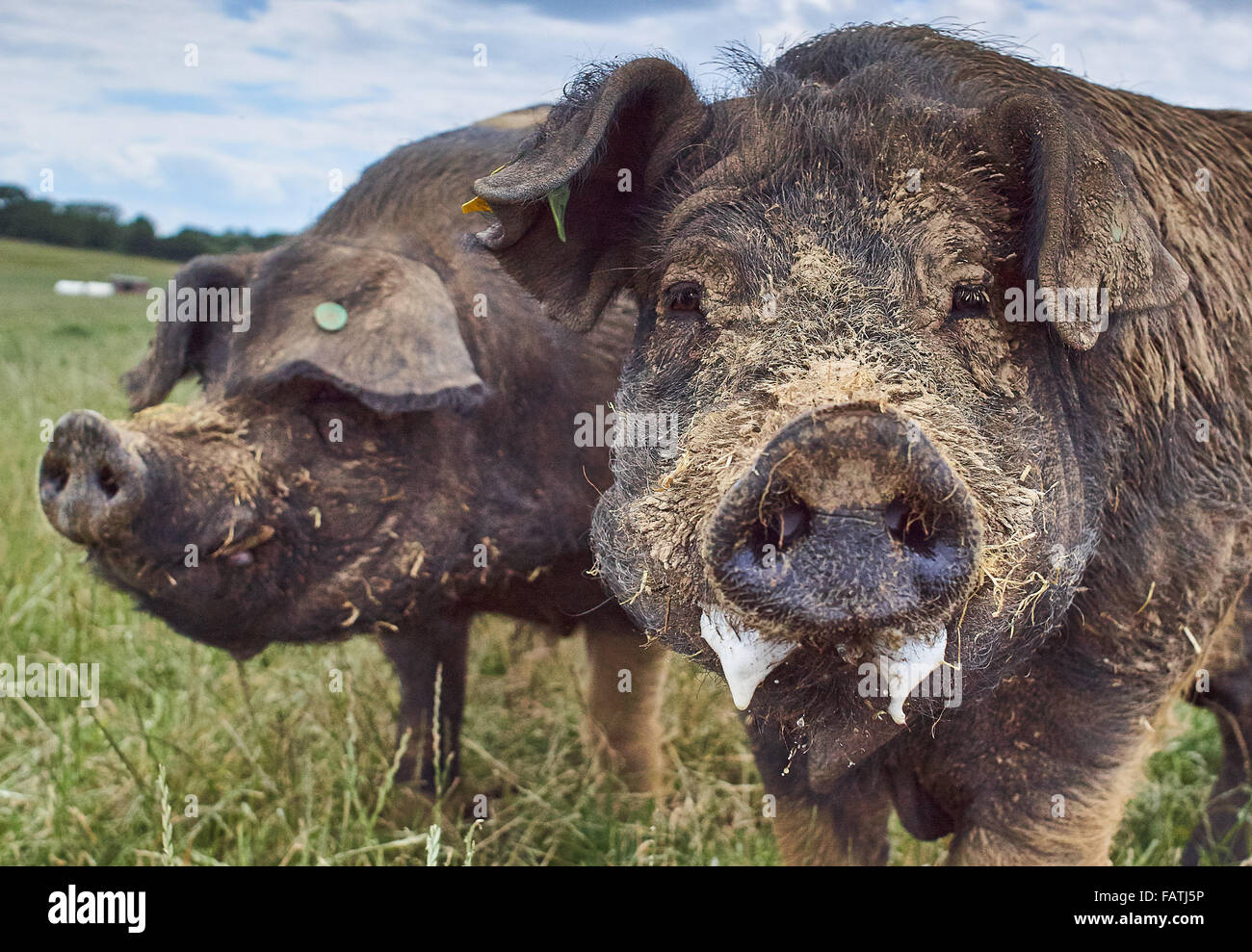 Close up Head shot of free range pigs in a grass field Stock Photo