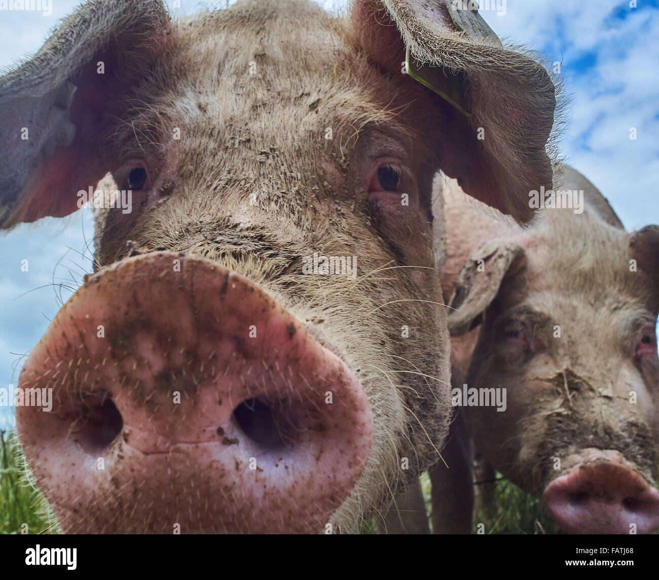 Close up Head shot of free range pigs in a grass field - Stock Image