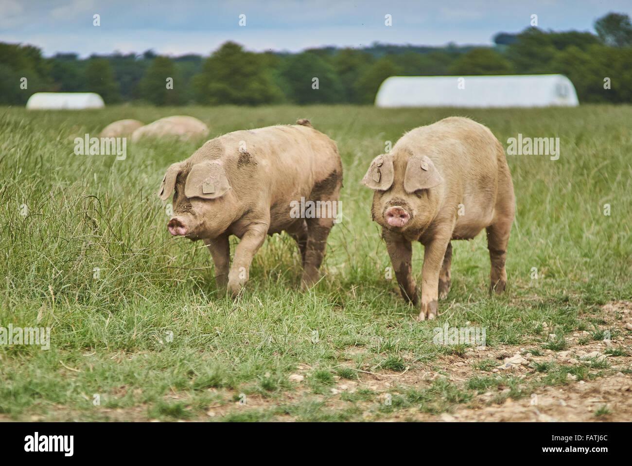 Two Organic Free Range Pigs walking in a grass field - Stock Image