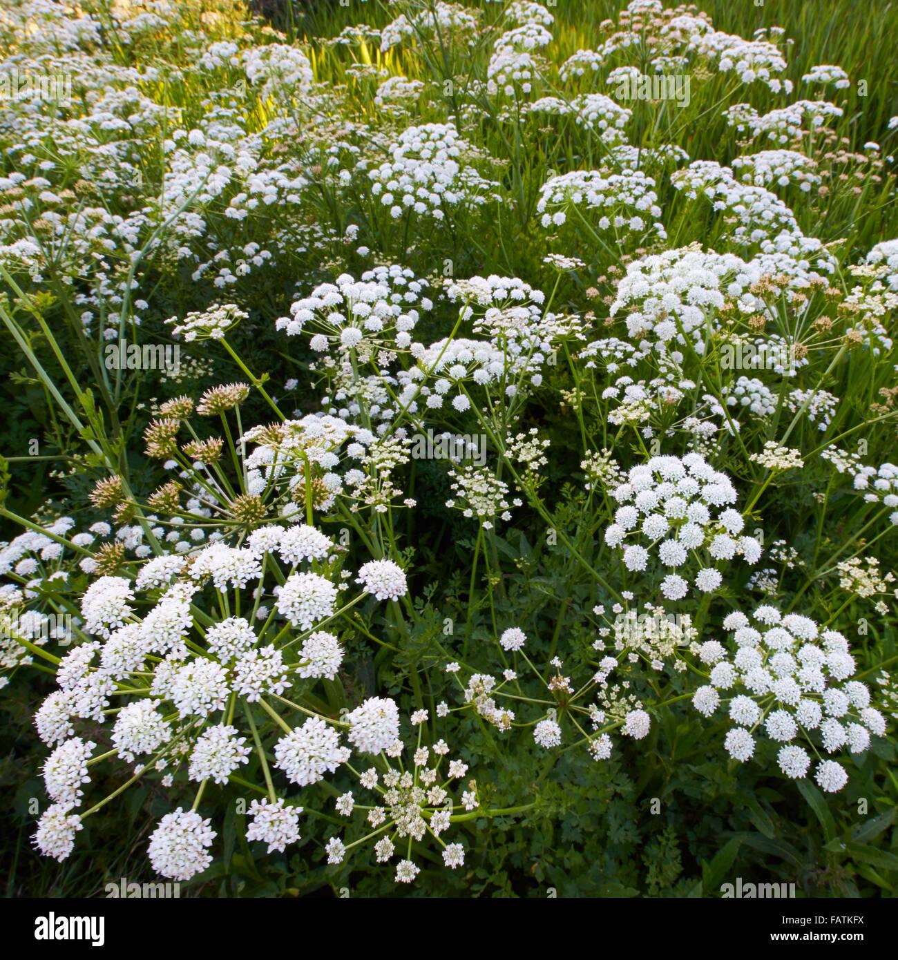 Hemlock Water Dropwort Oenanthe crocata - Stock Image