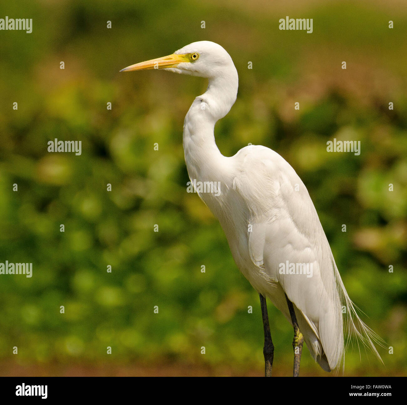 White Bird In Green Background With Yellow Eyes And Beak Stock Photo