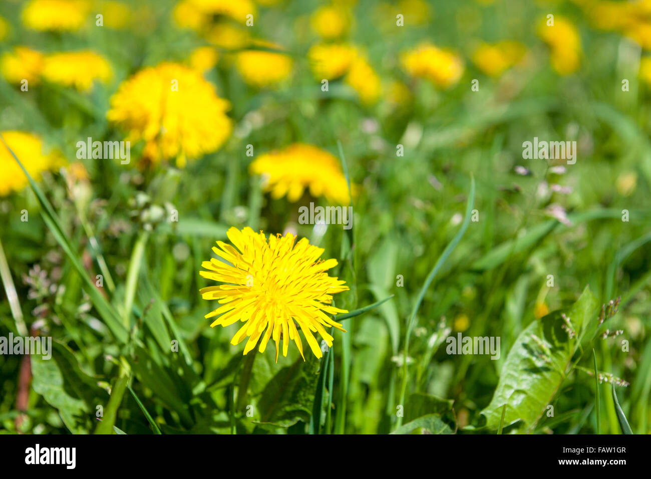 Dandelion (Taraxacum officinale), the common dandelion, is a flowering herbaceous perennial plant of the family - Stock Image