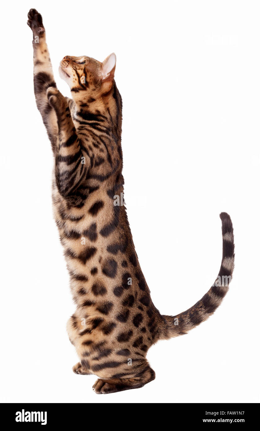 Male Bengal cat stretching, pawing and reaching up isolated on white background  Model Release: No.  Property Release: - Stock Image