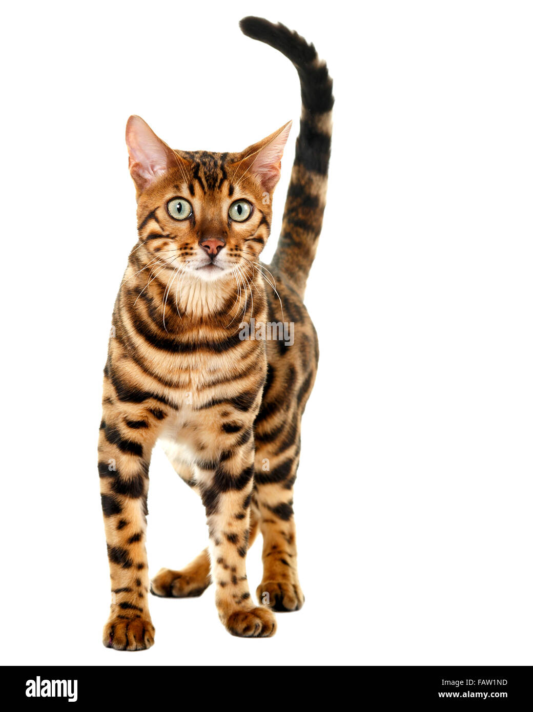 Male Bengal cat portrait isolated on white background  Model Release: No.  Property Release: No. - Stock Image