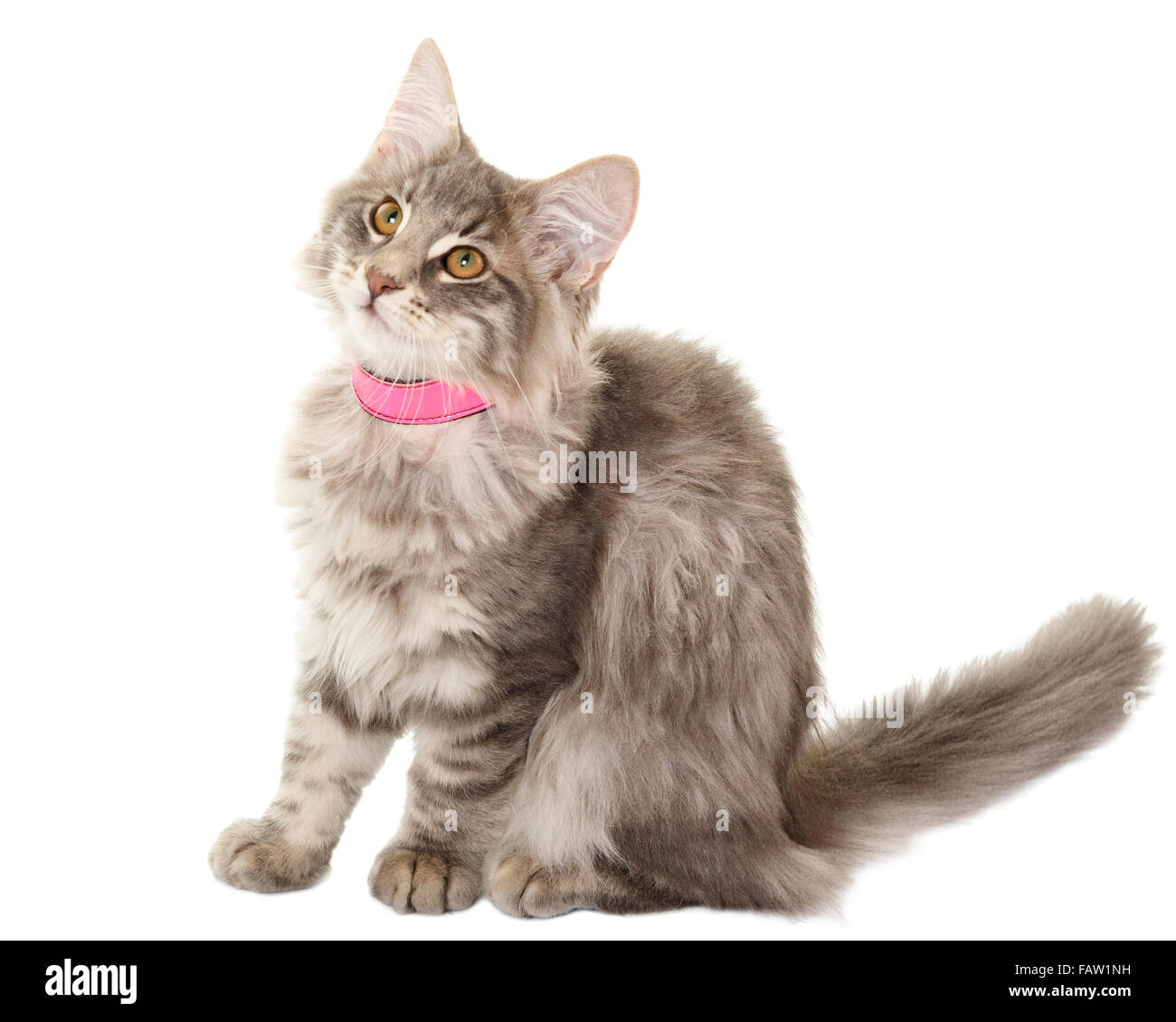 Norwegain forest cat kitten portrait isolated on white background  Model Release: No.  Property Release: No. - Stock Image