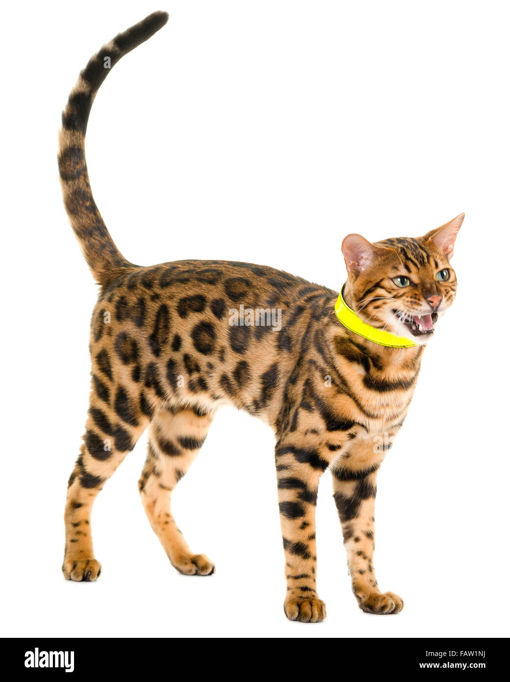 Male Bengal cat roaring or hissing isolated on white background  Model Release: No.  Property Release: No. - Stock Image