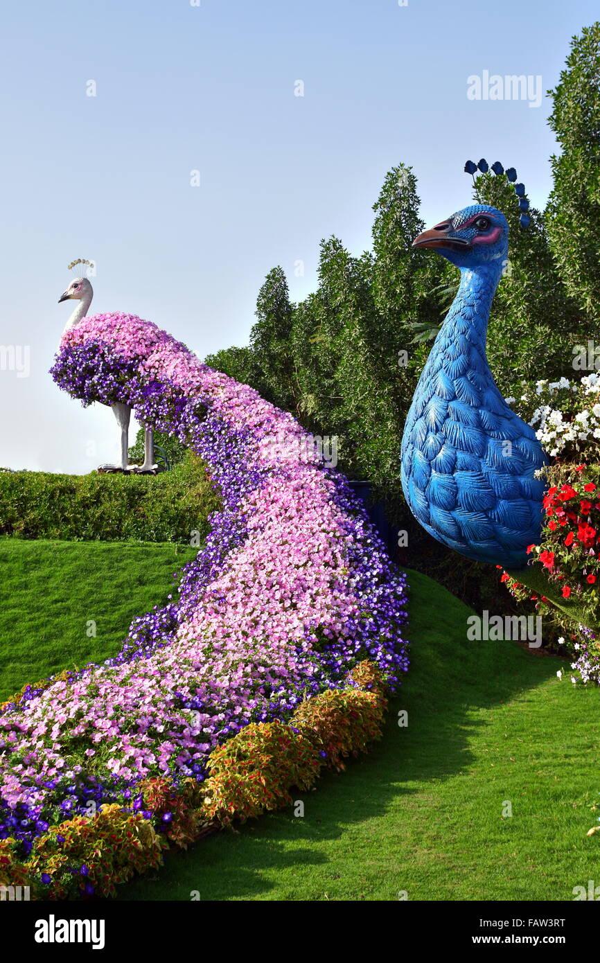 peacock full of flower at the dubai miracle garden dubai uae stock