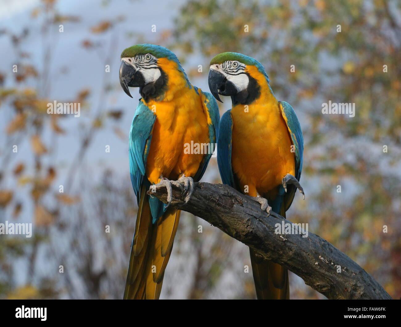 Pair of South American Blue and yellow macaws (Ara ararauna) Stock Photo