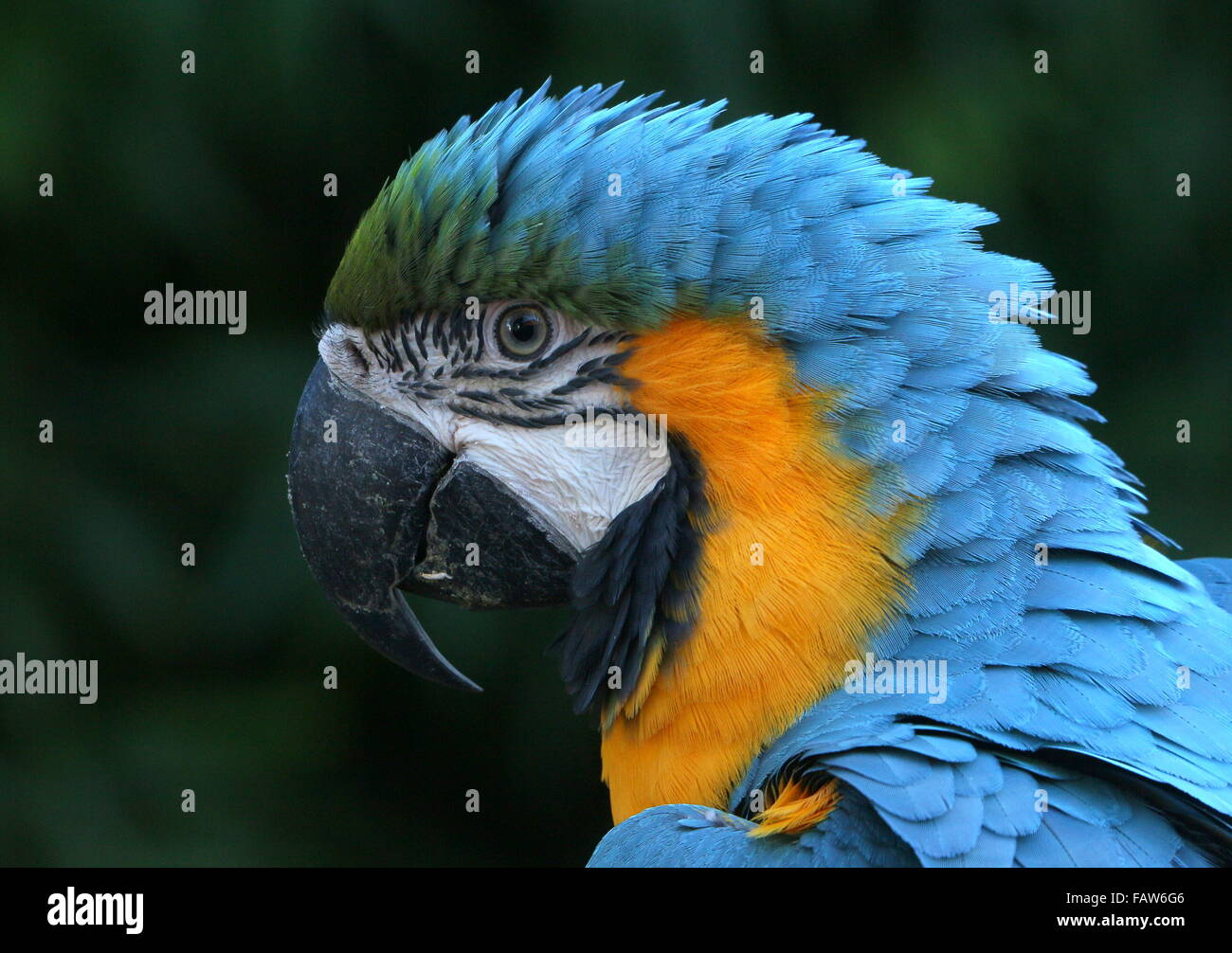 South American Blue and yellow macaw (Ara ararauna) portrait. - Stock Image