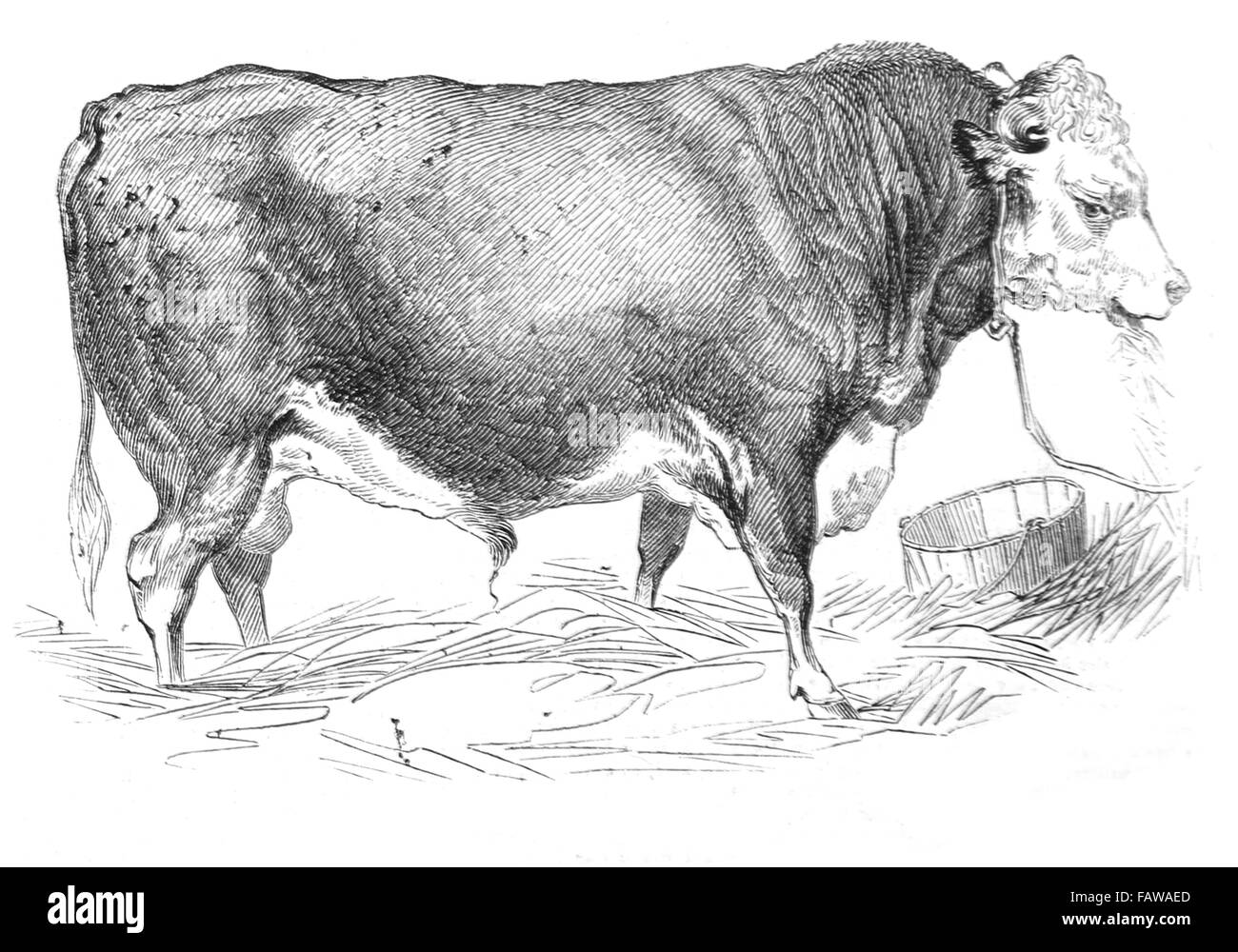 Hereford Bull, bred by Mr W Perry, 1844 Southampton Meeting of the Royal Agricultural Society Illustrated London - Stock Image