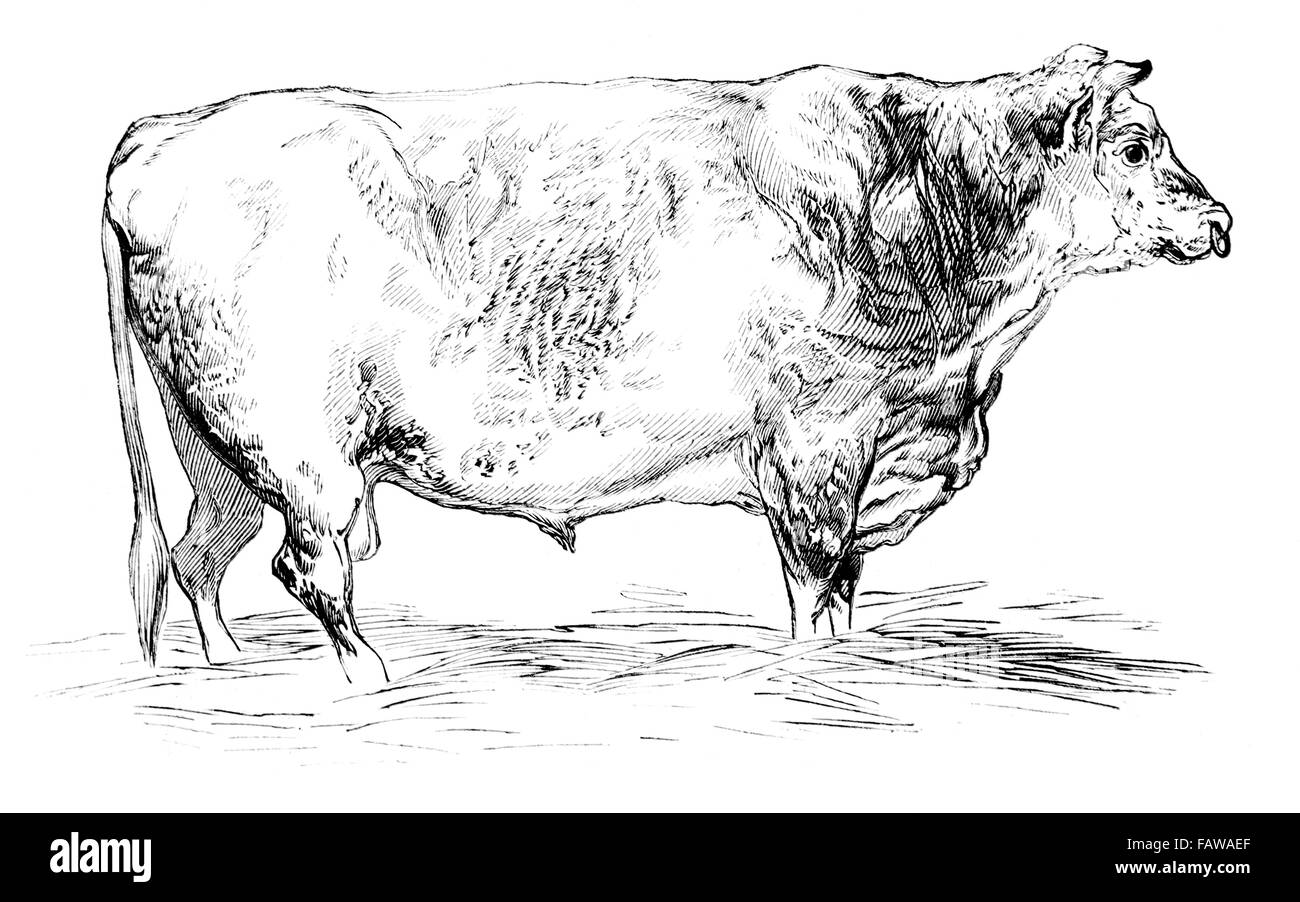 Short-horned Bull, bred by Mr J Cooper, 1844 Southampton Meeting of the Royal Agricultural Society Illustrated London - Stock Image