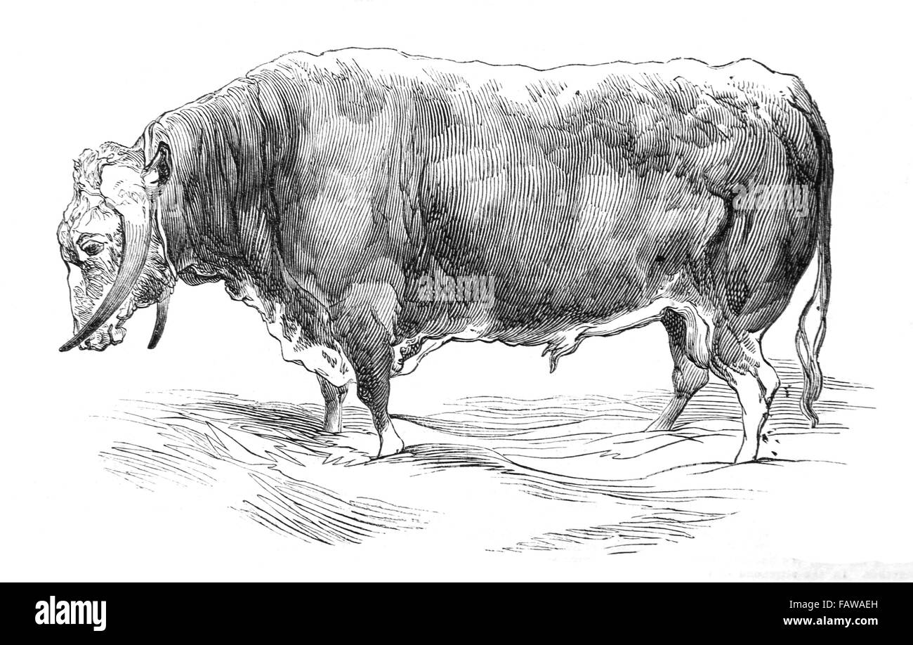 Long-Horned Bull, bred by Mr W Brine, 1844 Southampton Meeting of the Royal Agricultural Society Illustrated London - Stock Image