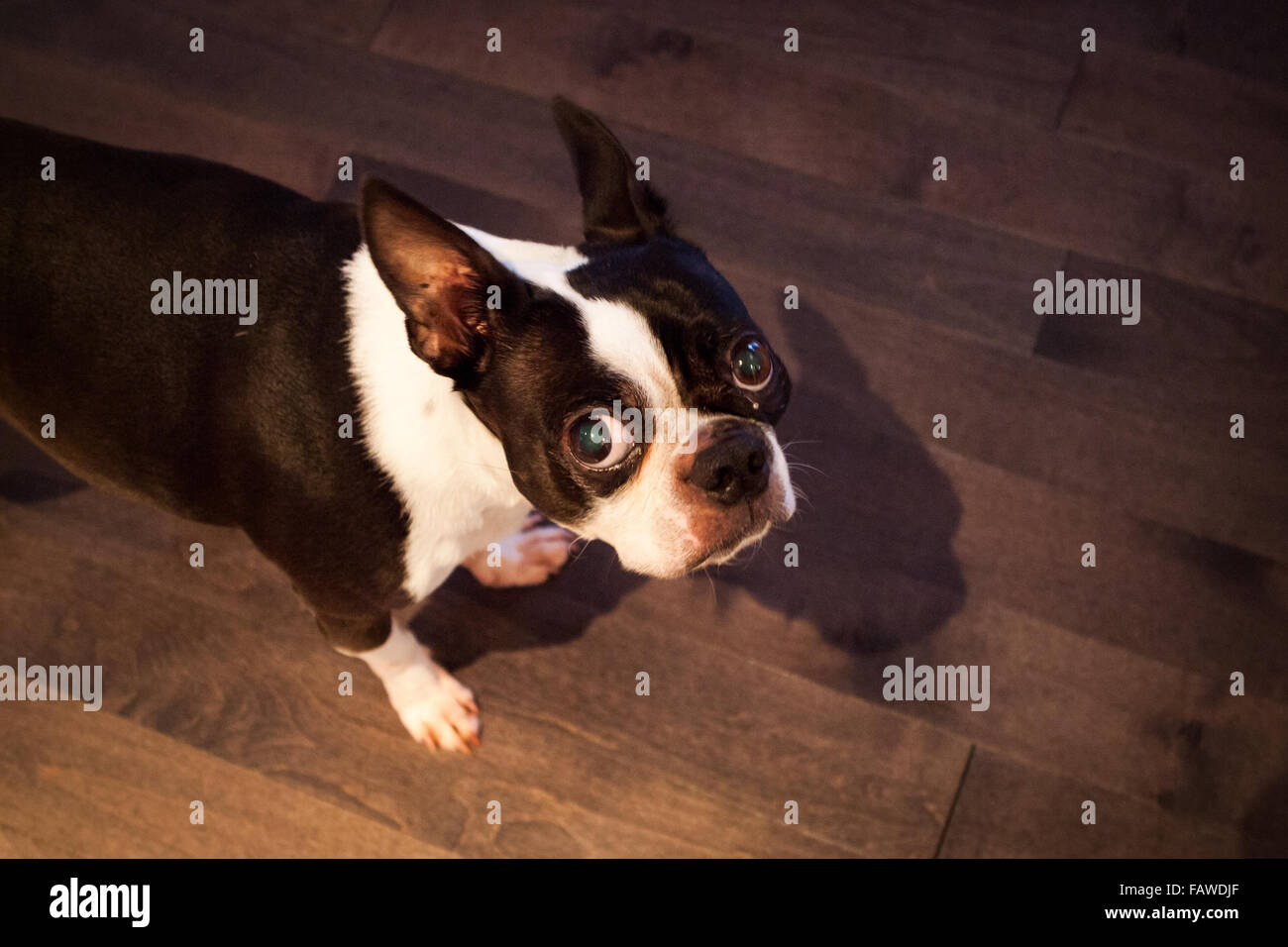 An unsure Boston Terrier. - Stock Image