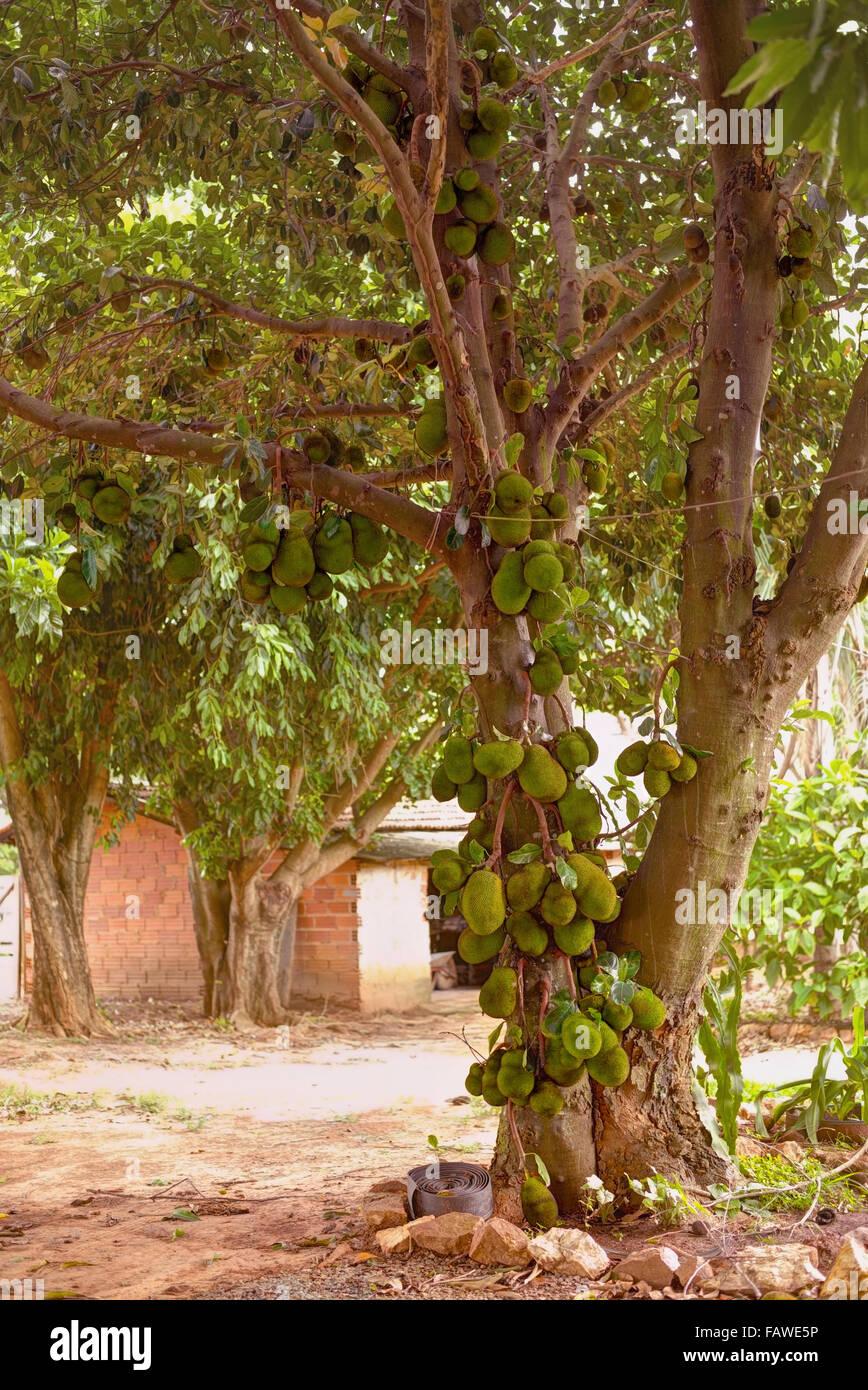 Jackfruit tree full of fruits. - Stock Image