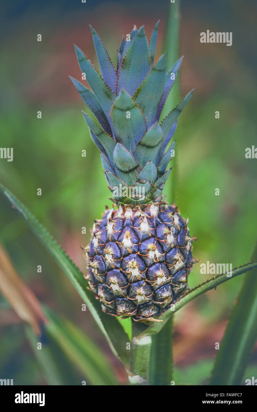 Pineapple fruit still in development. Image with depth of field. - Stock Image