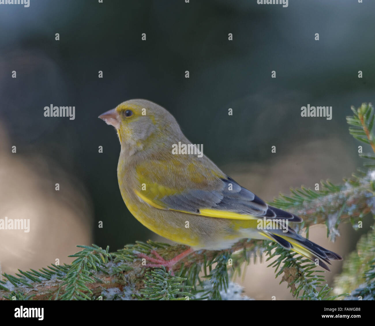 Greenfinch (Chloris chloris) is a small passerine bird in the finch family. - Stock Image