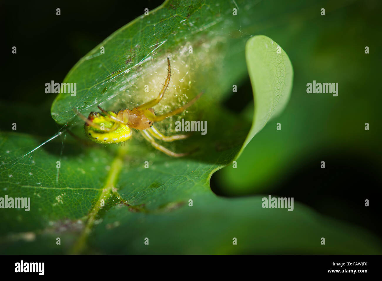 Close-up of a pumpkin Spider (Araniella cucurbitina) sitting between two leaves; Size: approx. 8 mm - Stock Image