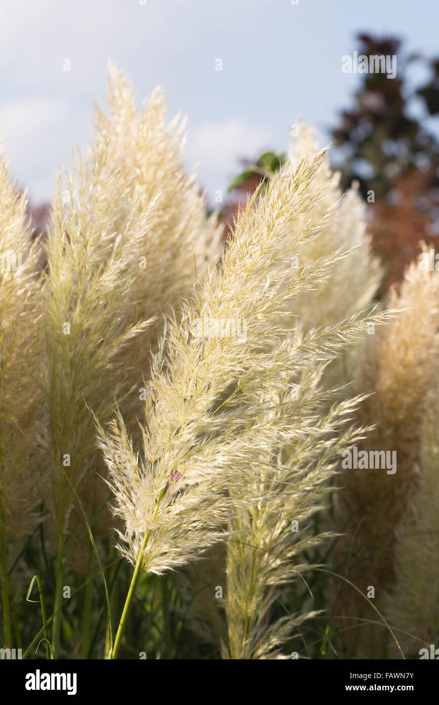 Cortaderia selloana Pumila. Pampas grass plumes in early evening sun. - Stock Image