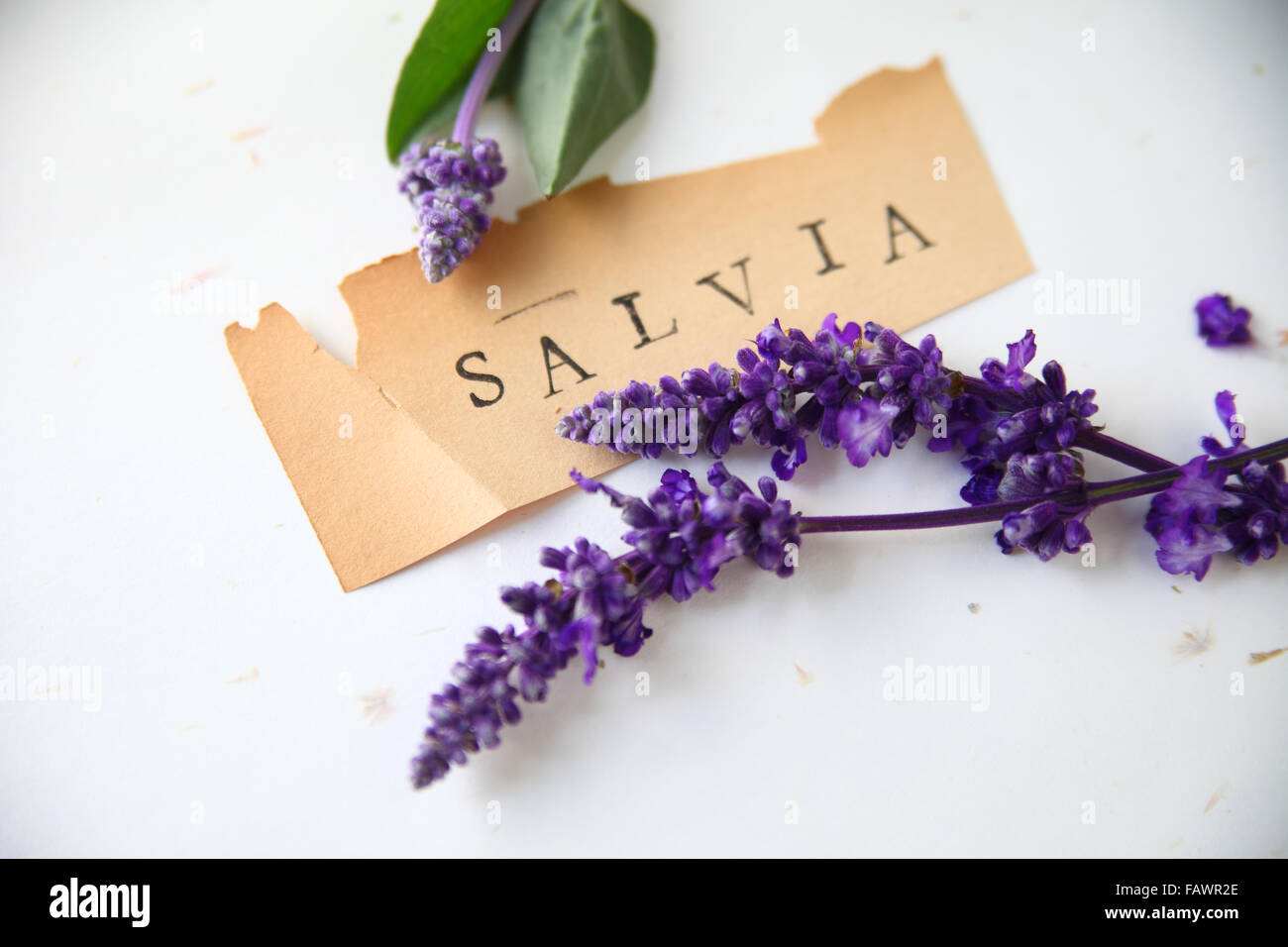 The word salvia on old torn paper with purple flowers - Stock Image