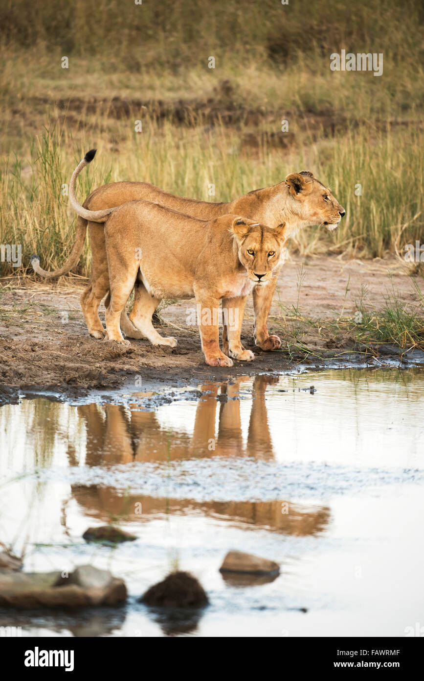 Two lionesses (Panthera leo) reflected in pool, Serengeti National Park; Tanzania Stock Photo