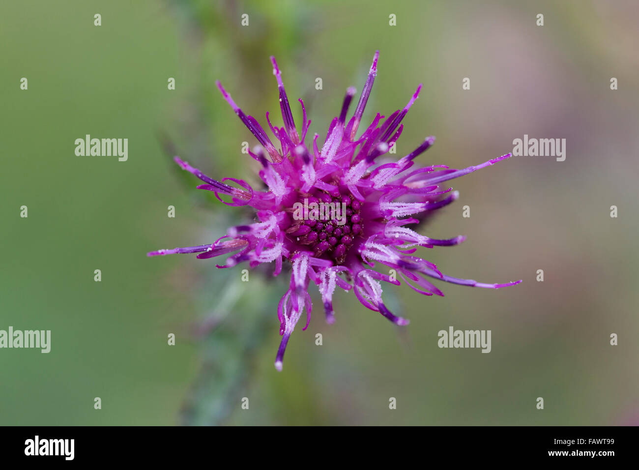 Greater Marsh Thistle; Cirsium palustre Flower; Cornwall; UK - Stock Image