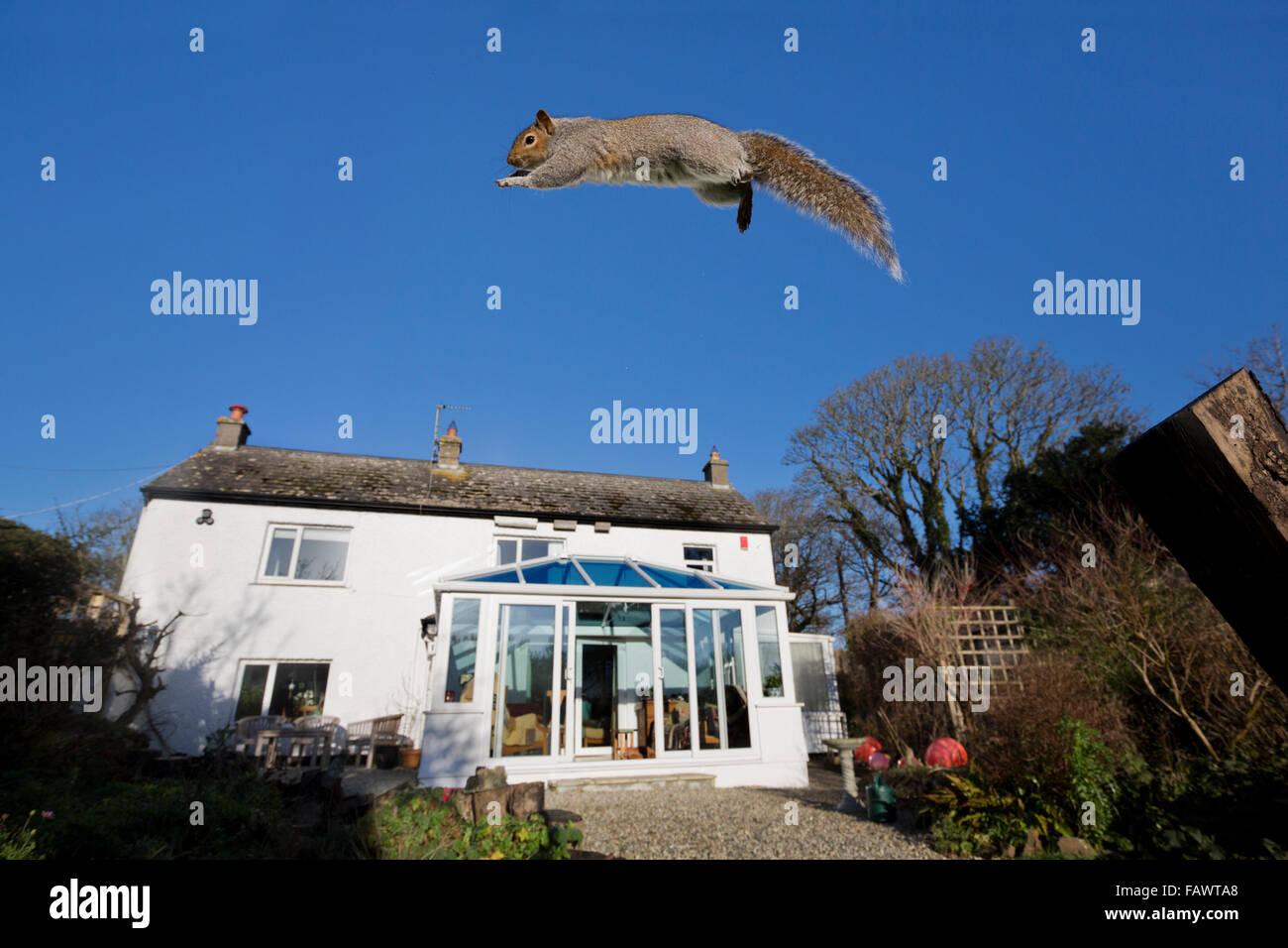 Grey Squirrel; Sciurus carolinensis Single Leaping to Feeder; Cornwall; UK - Stock Image