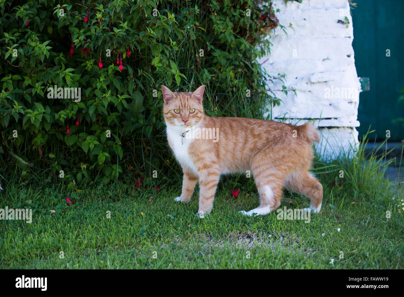 Manx Cat; Single in Garden Cregneash; Isle of Man; UK - Stock Image