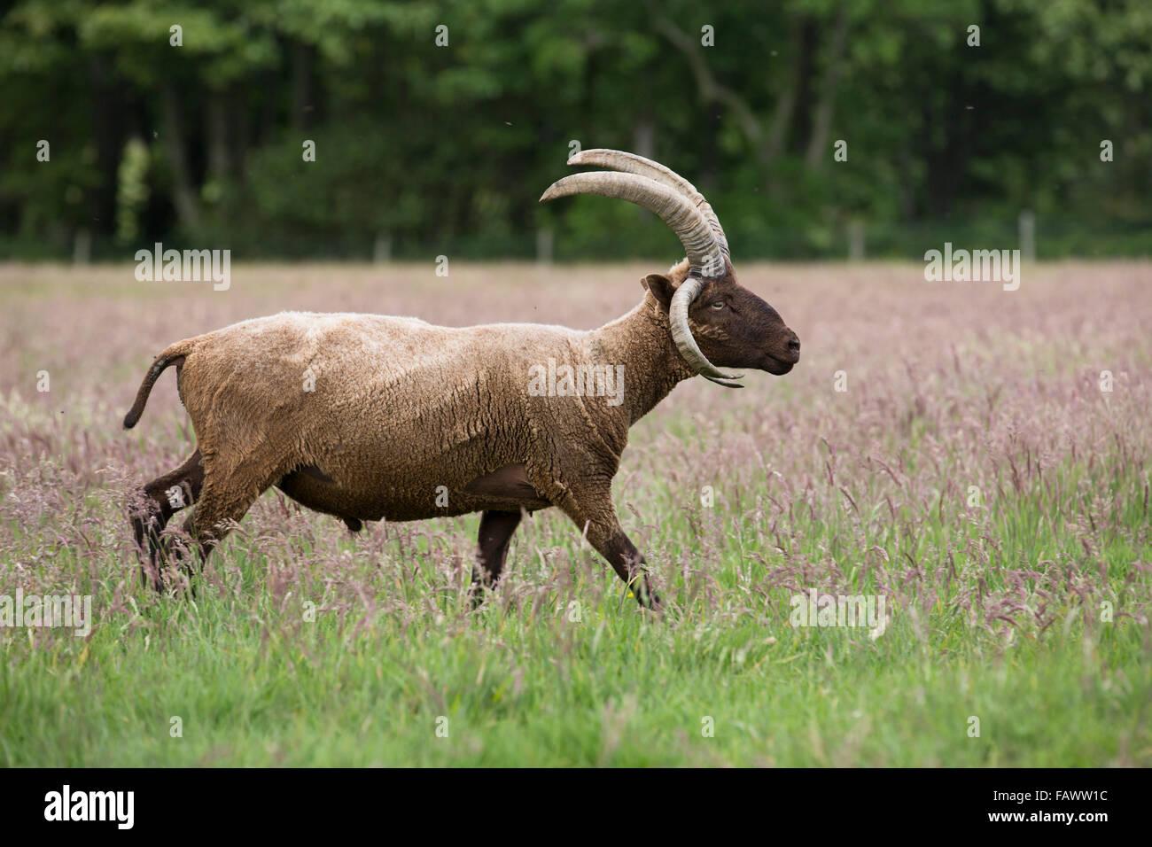 Manx Loaghtan Ram; Single Walking in Field Isle of Man; UK - Stock Image
