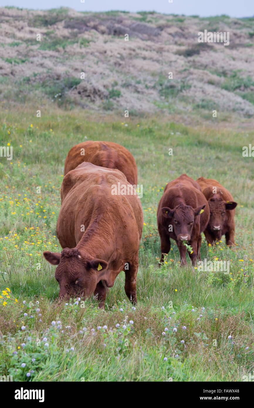 Red Devon Cattle; Herd Grazing Cornwall; UK - Stock Image