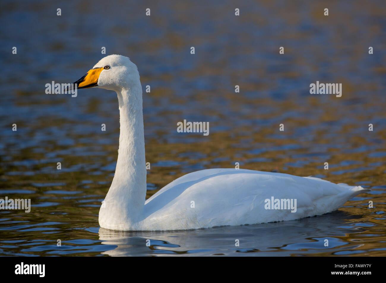 Whooper Swan; Cygnus cygnus Single on Water; Cornwall; UK Stock Photo