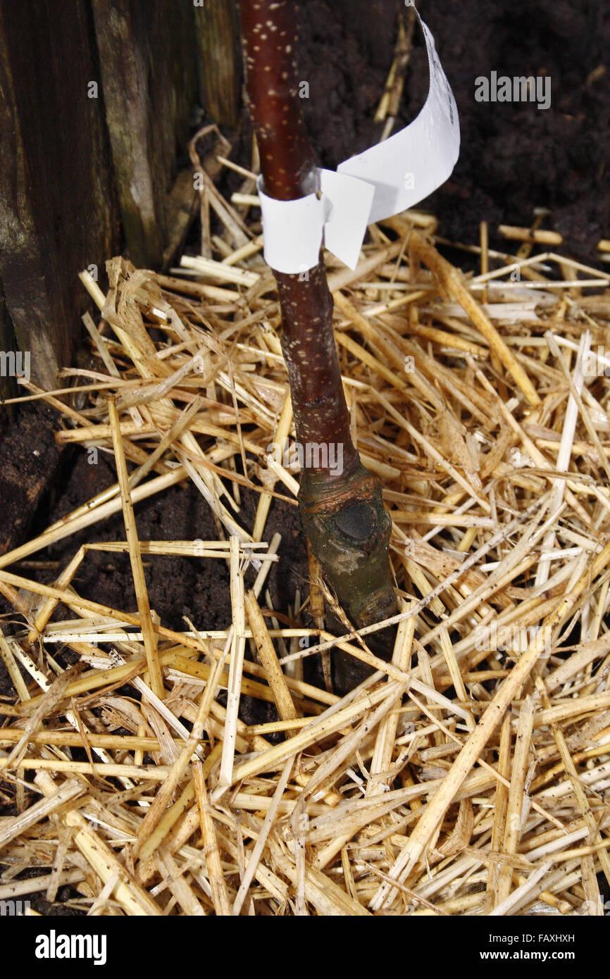 apple tree graft with straw mulch malus domestica - Stock Image