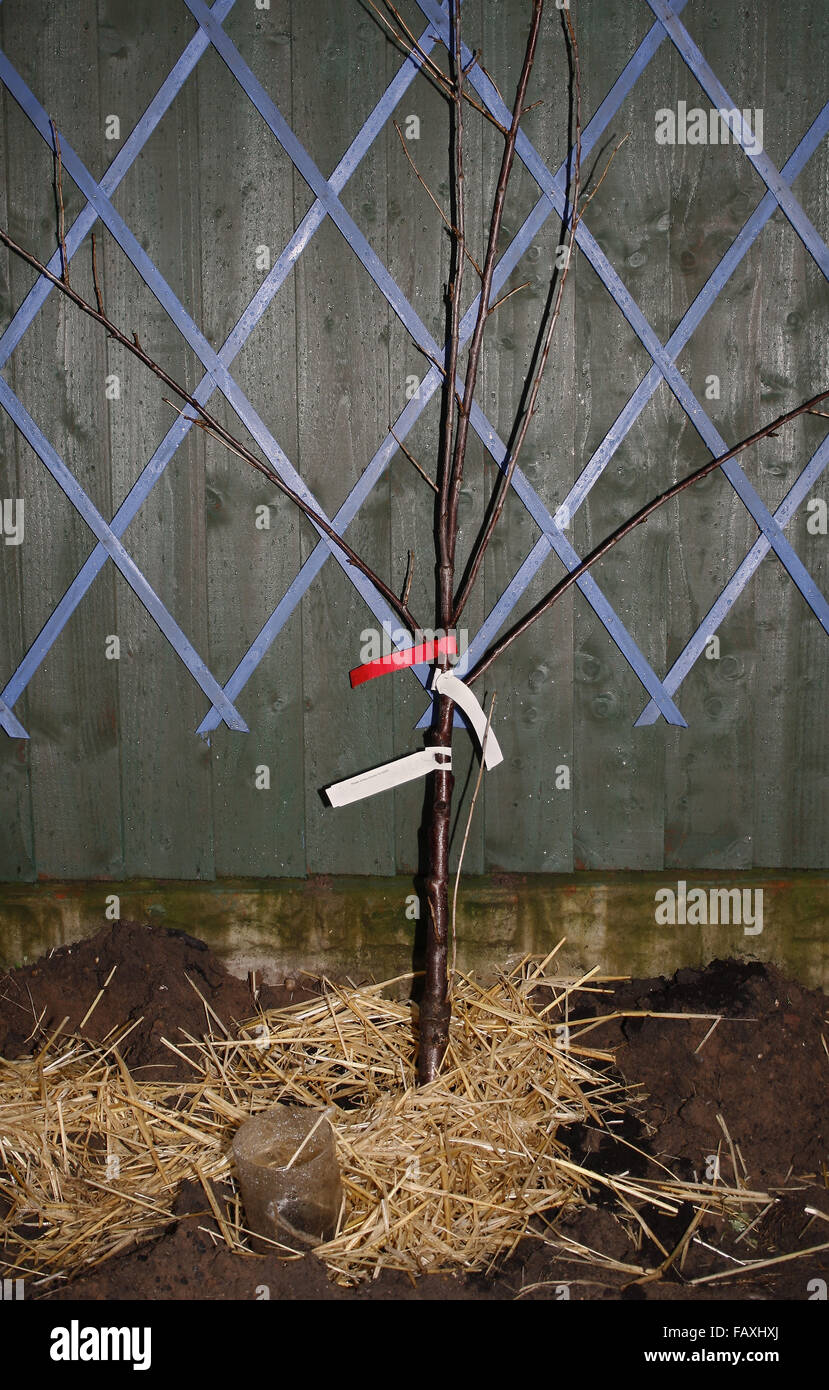 morello cherry tree being fan trained against a fence Prunus cerasus - Stock Image