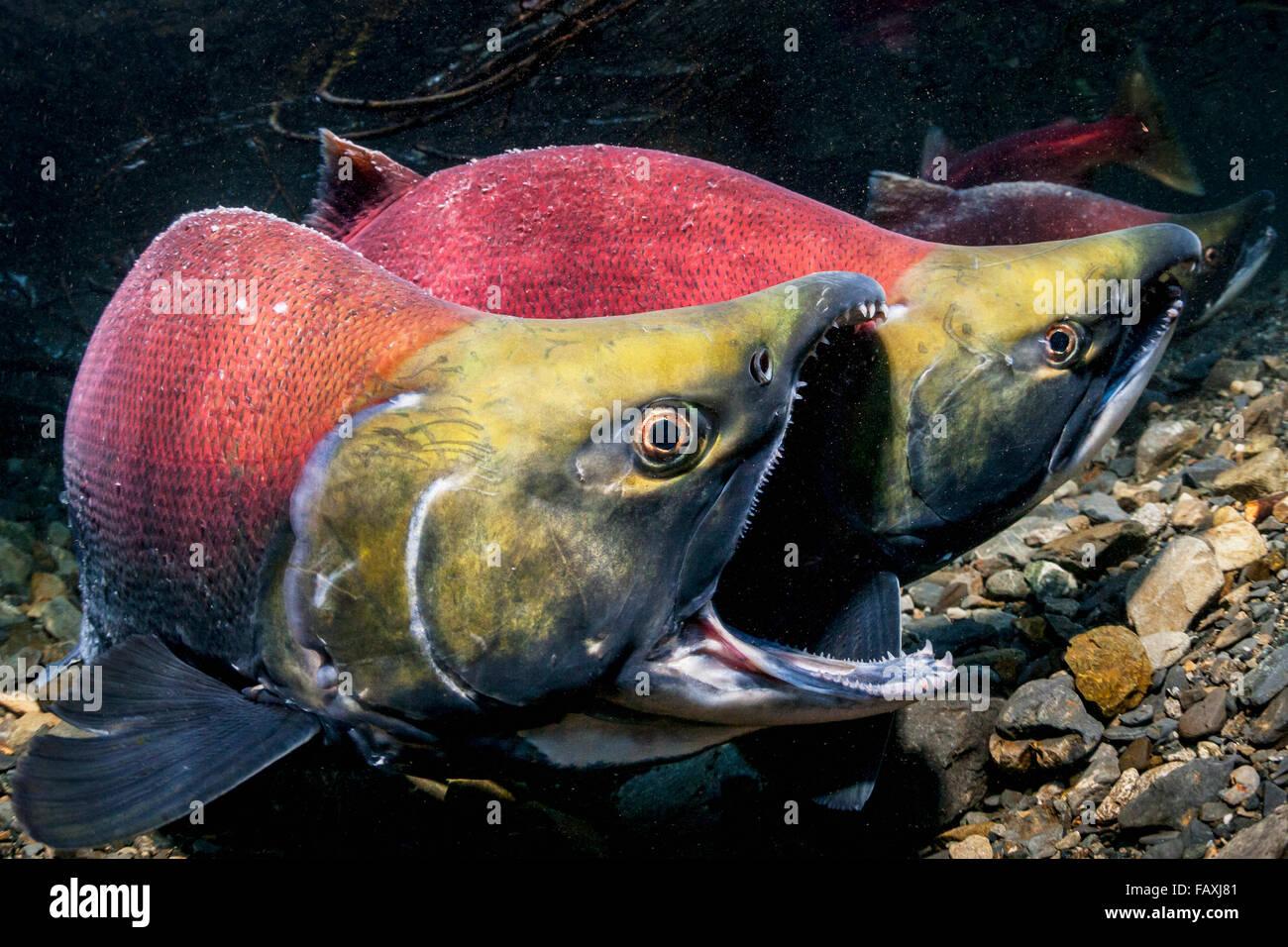 A male Sockeye Salmon (Oncorhynchus nerka) fends off an intruding male with the gape threat in an Alaskan stream - Stock Image