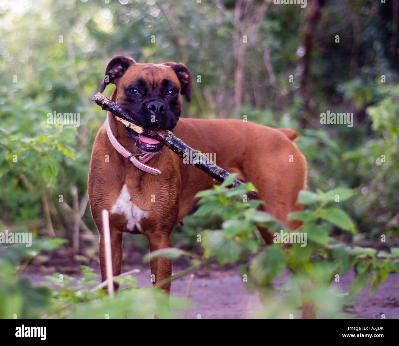 Boxer dog holding a stick in woodland. A brindle coloured boxer facing the camera - Stock Image