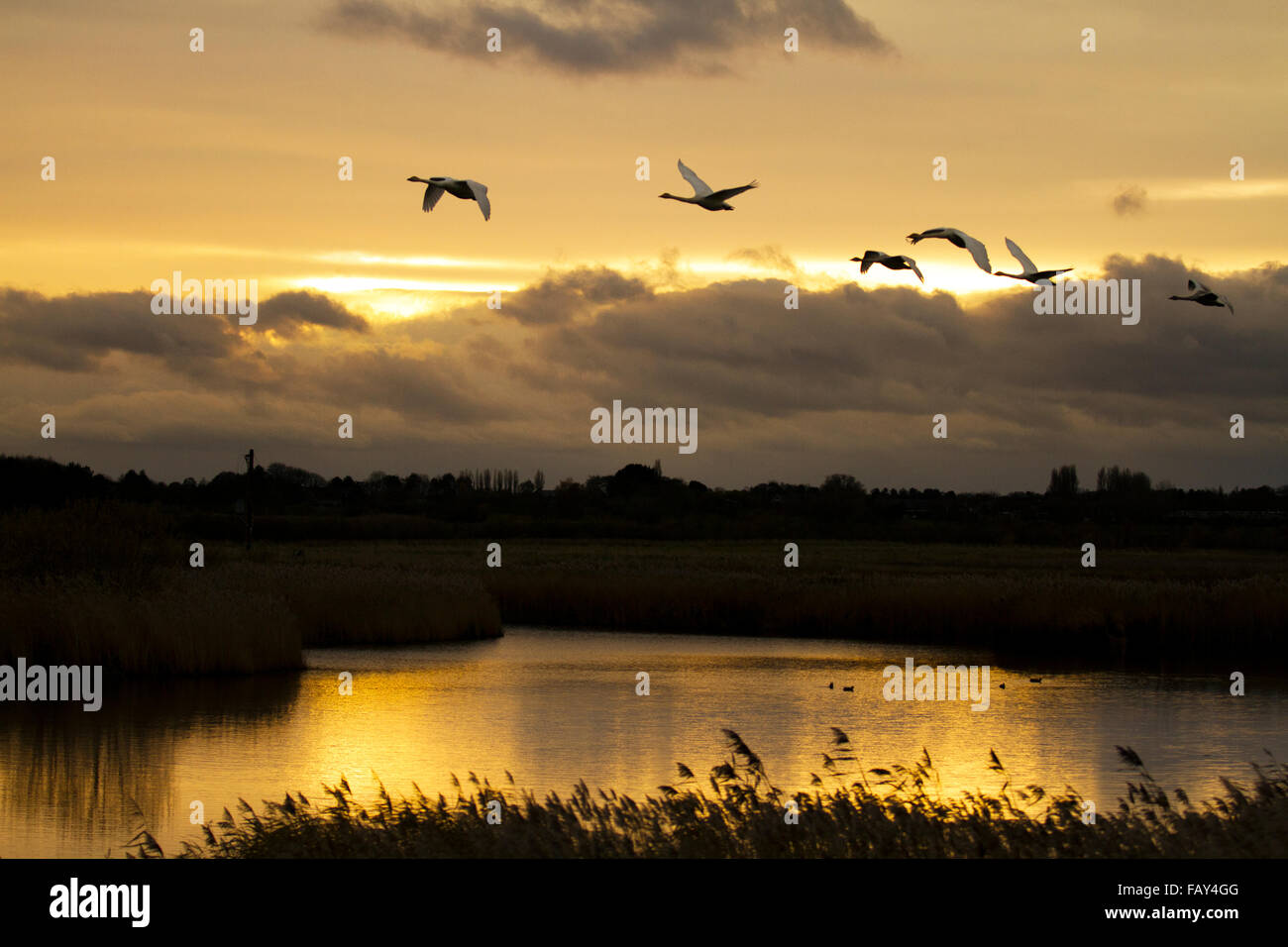 Swans taking off as the sun rises over a lake in Rufford, Lancashire, UK - Stock Image