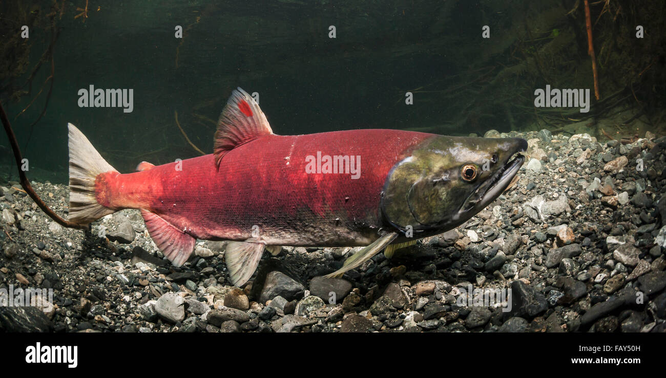 This mature Sockeye Salmon (Oncorhynchus nerka) female sports an unusual red dash on her dorsal fin, Southcentral - Stock Image