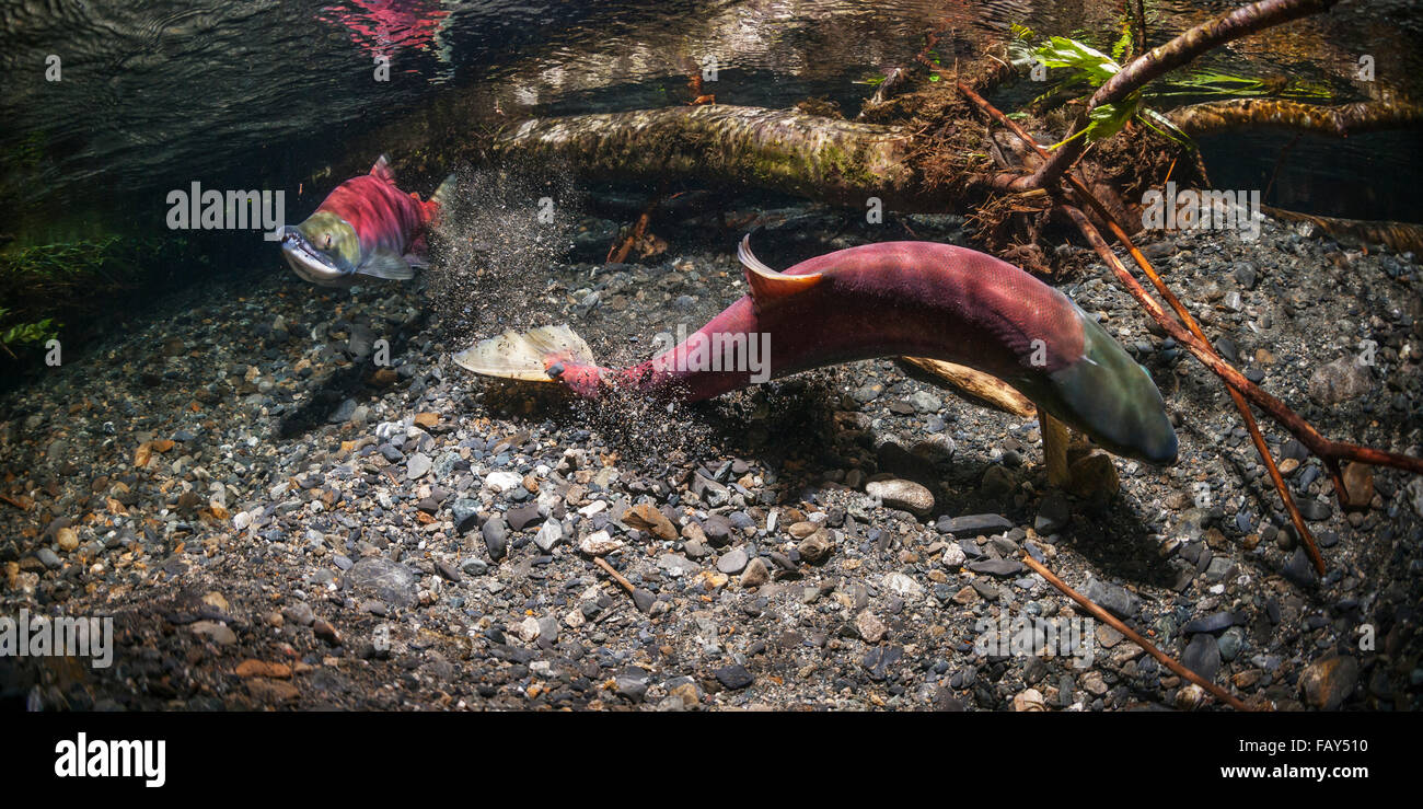 Female Sockeye Salmon (Oncorhynchus nerka) makes a dig while alpha male guards downstream in an Alaskan stream during - Stock Image