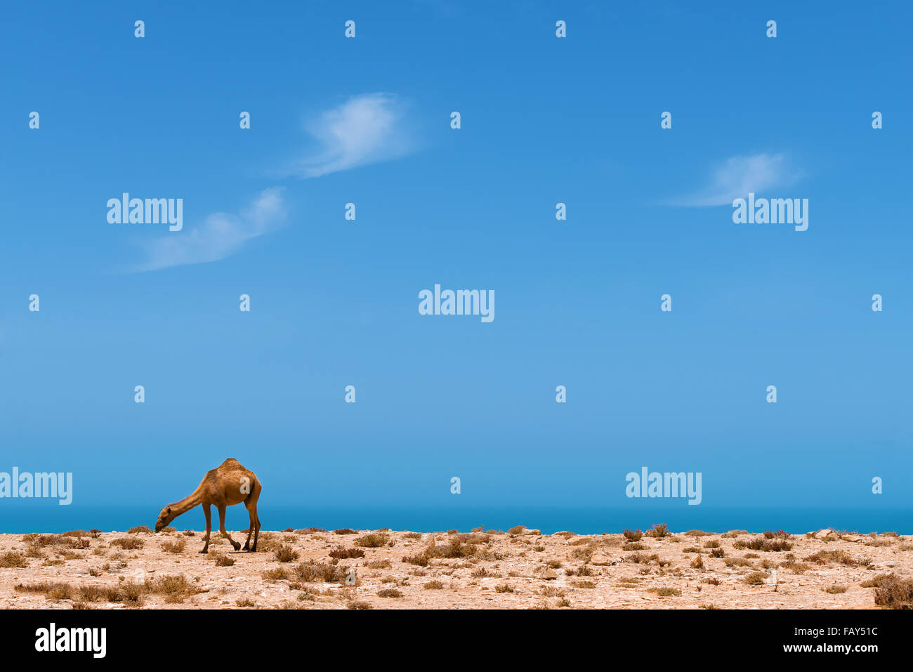 A dromedary at the Atlantic coast with view of the ocean against cloudy blue sky. - Stock Image