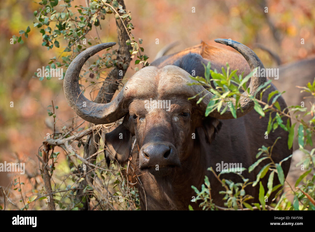 Portrait of an African or Cape buffalo (Syncerus caffer), Kruger National Park, South Africa - Stock Image