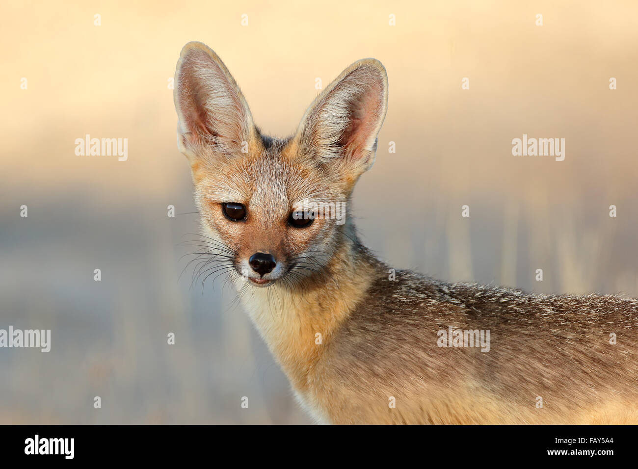 Portrait of a Cape fox (Vulpes chama), Kalahari desert, South Africa - Stock Image
