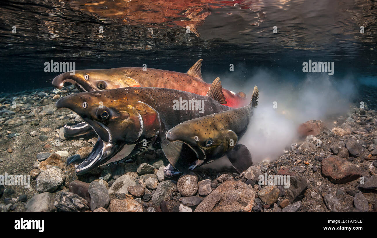 Coho Salmon (Oncorhynchus kisutch) in the act of spawning in an Alaska stream during late autumn. - Stock Image
