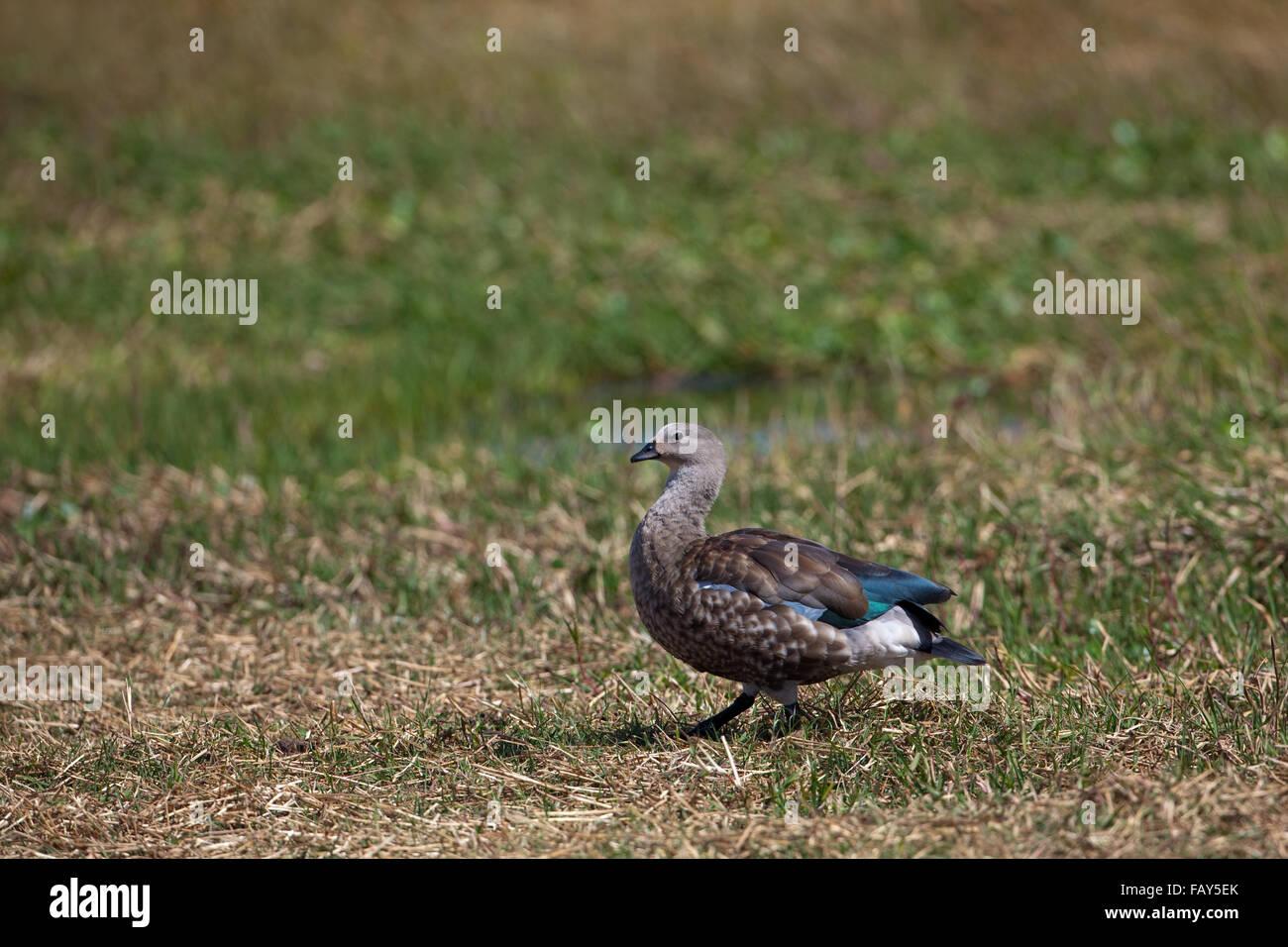 Abyssinian Blue-winged Goose (Cyanochen cyanopterus). Bale Mountains. Ethiopia. - Stock Image