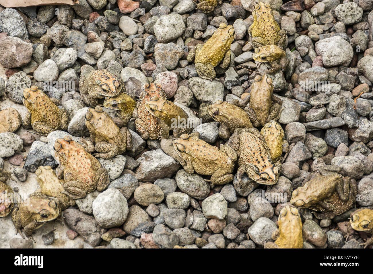 Indonesia, Tejakula, Bali, mating frogs - Stock Image