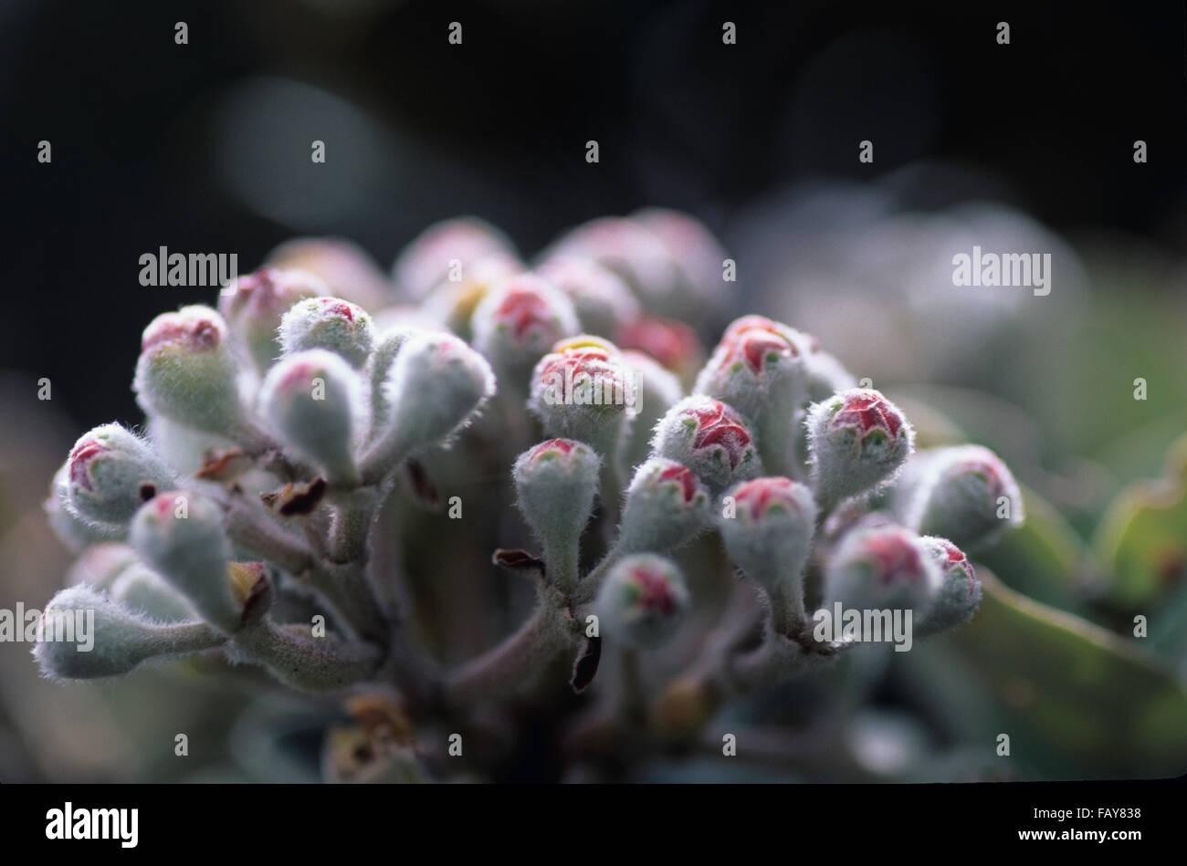 Big Island, Hawaii, Hawaii Volcanoes National Park, Ohia Tree details, flower buds,  Metrosideros polymorpha, Myrtaceae - Stock Image