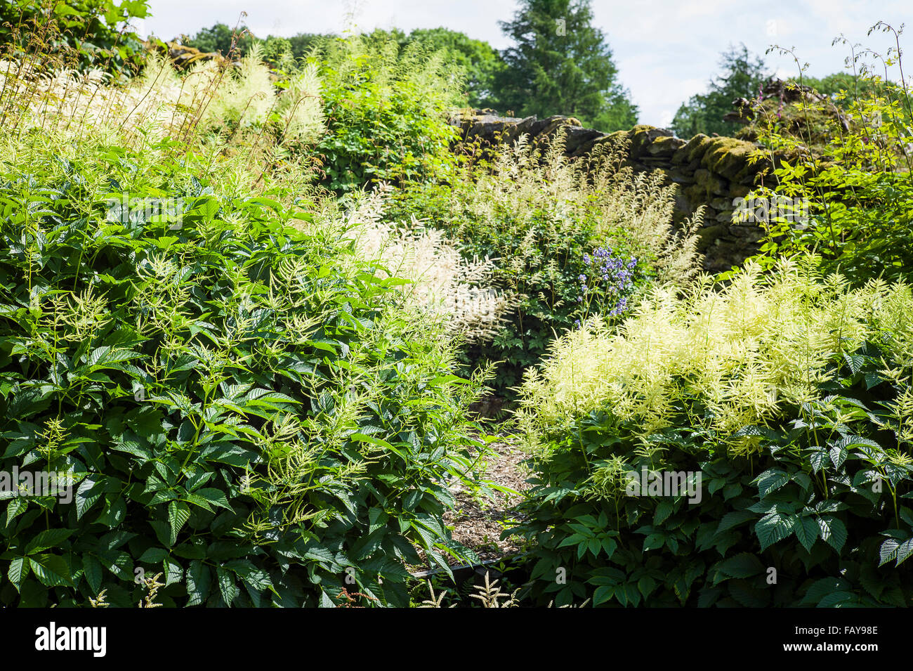 Collection of Aruncus plants in flower  in Cumbria - Stock Image