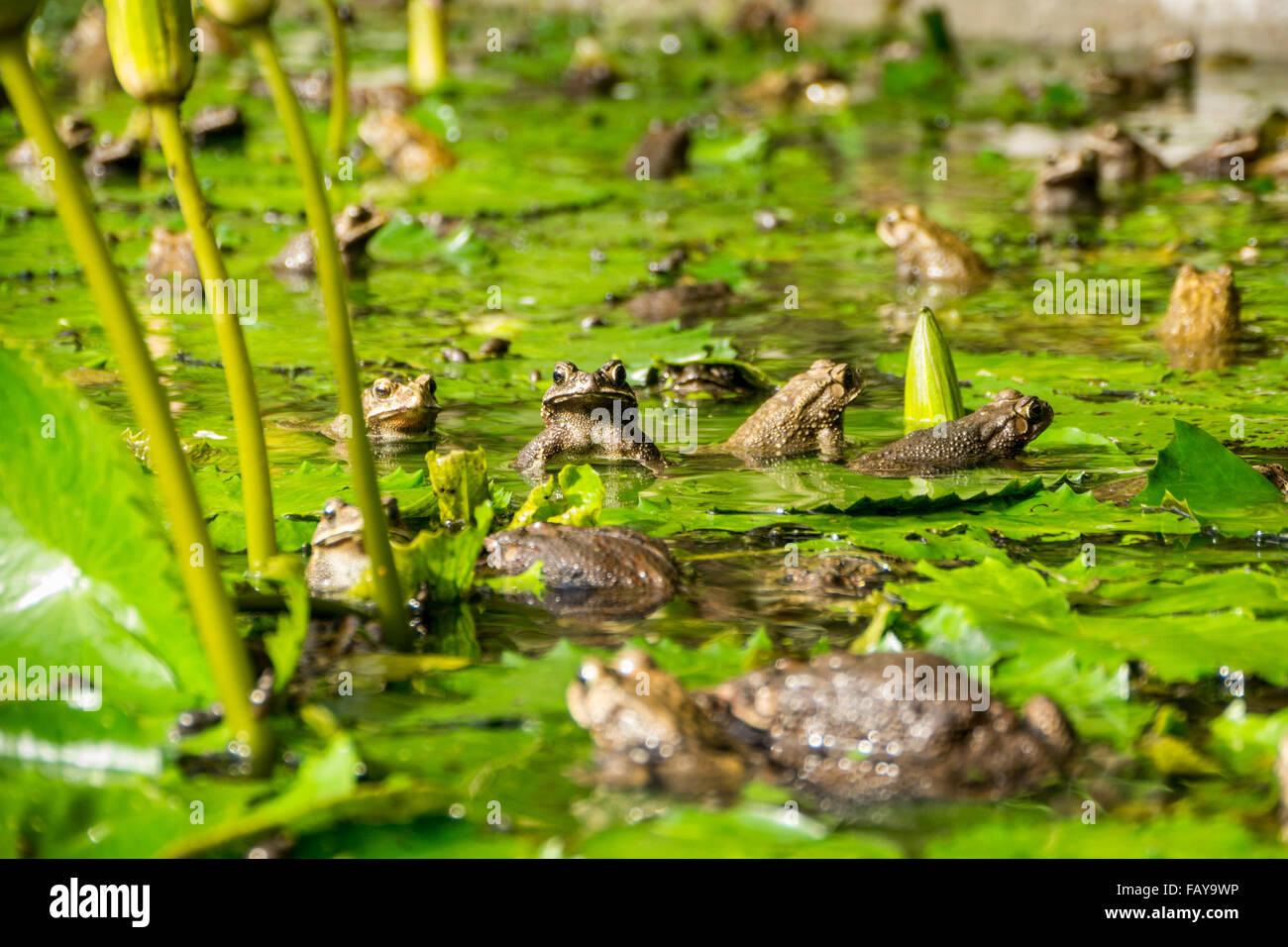 Indonesia, Tejakula, Bali, mating frogs between Lotus flowers leaves. - Stock Image