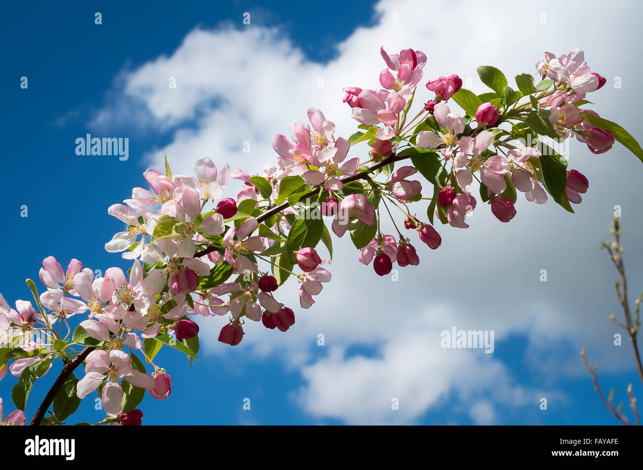 Spring blossom on a flowering malus 'Sun Rival' - Stock Image