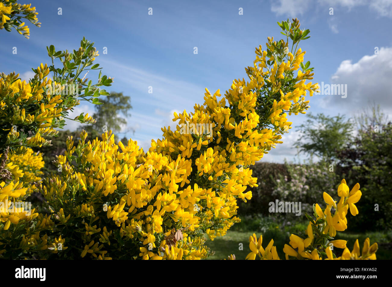 Shrub With Fragrant Yellow Flowers In Spring Stock Photos Shrub