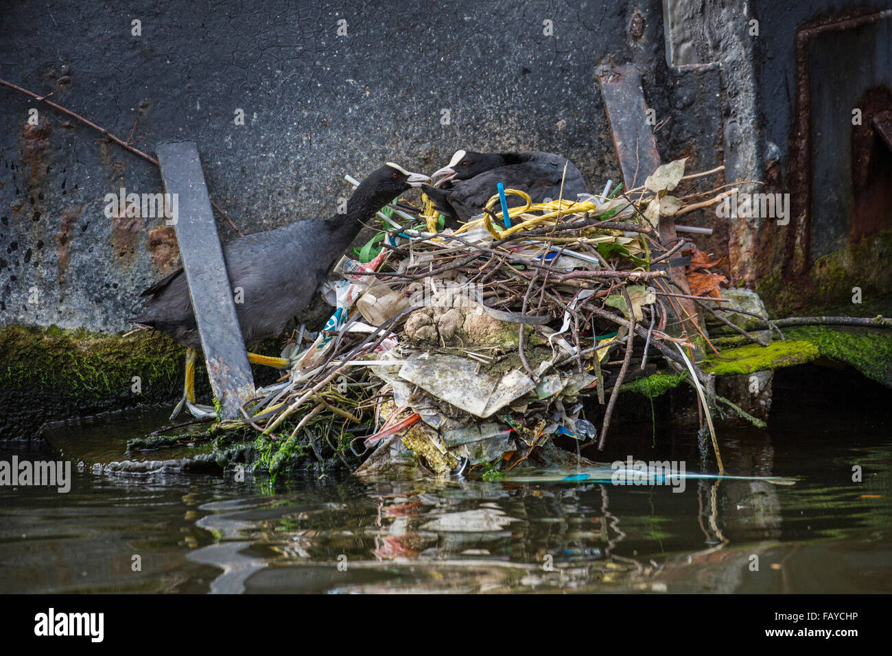 Netherlands, Amsterdam, Coots on nest in canal in city center near houseboat Stock Photo