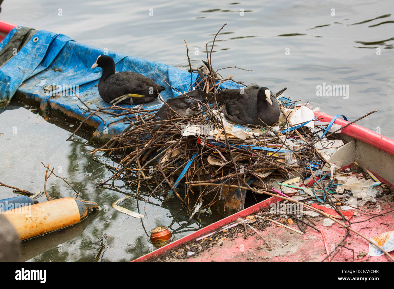 Netherlands, Amsterdam, Coots on nest in canal in city center on sunken rowing boat Stock Photo